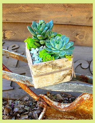 Succulent in Birch Box