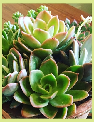 Succulents, Green or Flowering Plants