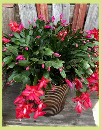 Christmas Blooming Cactus